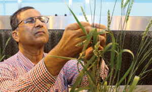 Small grains pathologist Shaukat Ali examines cultivars in the greenhouse at the Seeds Laboratory for signs of disease.