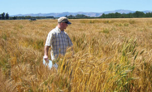 Spring wheat breeder Karl Glover surveys a crop of South Dakota wheat growing in the Arizona desert. This produces enormous heads but not all of them reach maturity.