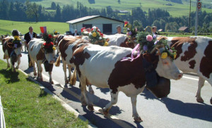 Living in Switzerland gives Sue Hawkins a chance to take in the many Swiss festivals, like the celebration of watching cows being taken up to the alpine pastures during the spring and summer and the herd's return from the mountains in the fall.