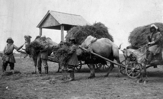 N. E. Hansen feeding yellow-blossomed alfalfa to camels in Senipalatinsk, Siberia, in 1913.
