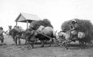 Hansen-camel-alfalfa[1]